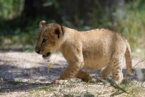 piccolo cucciolo di leone che cammina all'aperto foto