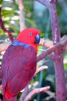 pappagallo colorato eclectus foto
