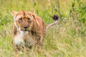 ritratto einer löwin