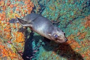 cucciolo di leone marino subacqueo ti guarda foto