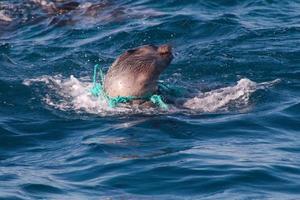 cucciolo di foca in pericolo foto