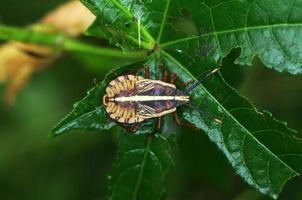 giovane bug squash foto
