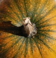gambo di zucca arancione