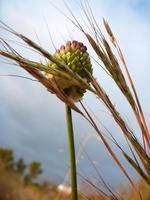 cipolla selvatica foto