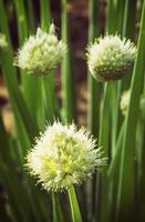 pianta di cipolla foto