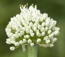 cipolla fiorita foto