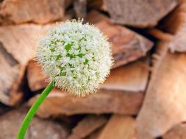 fiore di cipolla. foto