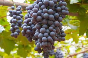 uva in giardino foto