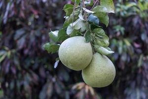 grandi varietà di pomelo bianco foto