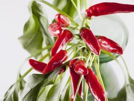 peperoni rossi in un ramo foto