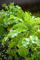 cavolo verde. foto