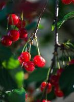 ciliegie sul ramo