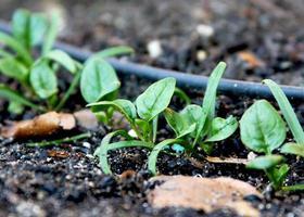 spinaci che crescono in giardino foto