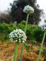 erba cipollina all'aglio - allium tuberosum 'newbelt' foto