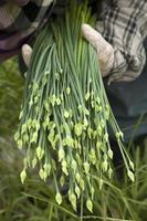 erba cipollina di aglio carne in mano del giardiniere foto