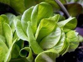 foglie di lattuga in crescita foto