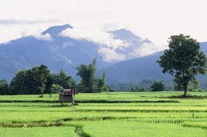 giacimento verde del riso nella provincia di Naan, Tailandia foto