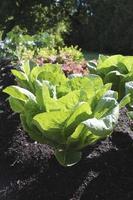 grande lattuga in giardino biologico verticale foto