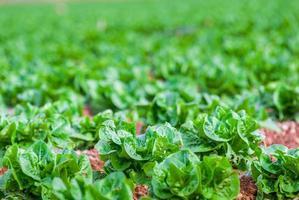 lechugas frescas en el campo. foto