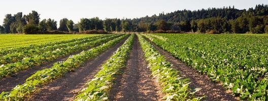 filari piantati fattoria di erbe campo agricolo raccolto vegetale foto