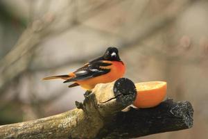 baltimore oriole nutrendosi di un'arancia foto