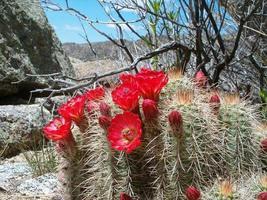 tazza di claret cactus 1 foto