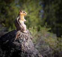 scoiattolo su una roccia foto