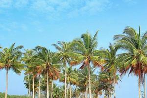 alberi di cocco foto