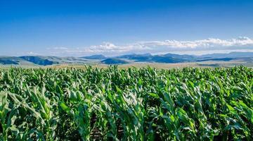 campo di grano e montagne