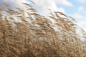 spighe di grano autunnali foto