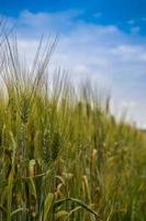 campo di grano prima della raccolta foto