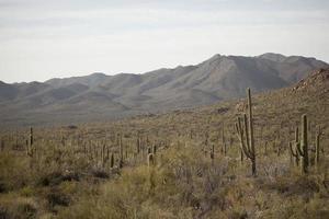 paesaggio di cactus, parco nazionale del saguaro foto