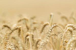 campo di grano (ripresa ravvicinata)