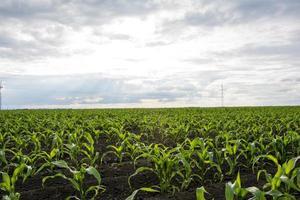 campo di grano giovane