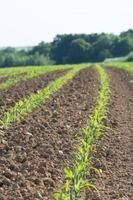 campo di grano con forrest