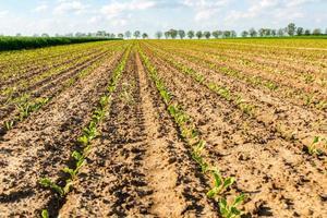 campo di grano giovane foto