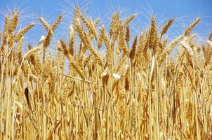 spighe mature di grano foto