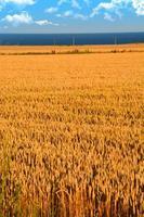 raccolto di grano prima di raccogliere il raccolto foto