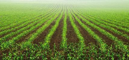 filari di giovani piante di mais