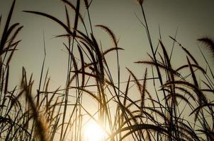 pennacchi di erba all'alba