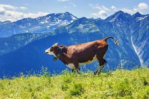 mucca che corre nelle Alpi francesi foto