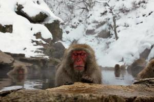 scimmie della neve in Giappone foto