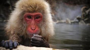 scimmia della neve a jigokudani vicino a Nagano, Giappone foto