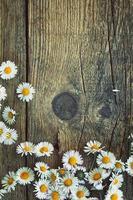 margherite di primavera foto