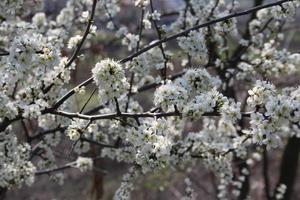 primavera bianca foto