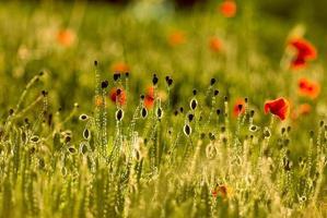 papaveri, primavera foto