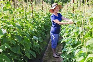 donna in giardino o fattoria con piante di fagioli foto