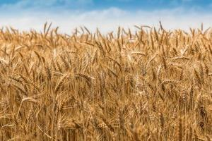 paesaggio di grano maturo foto