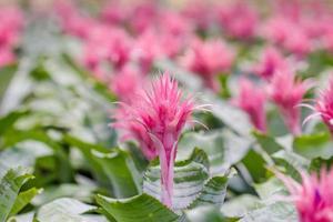 fiore di bromelia rosa e blu vaso
