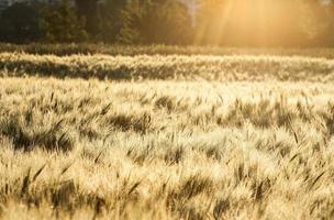 grano al mattino, paesaggio rurale foto